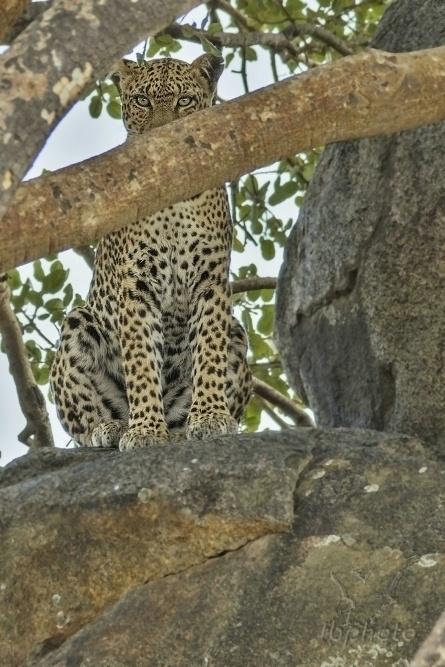 Levhart skvrnitý (Panthera pardus)