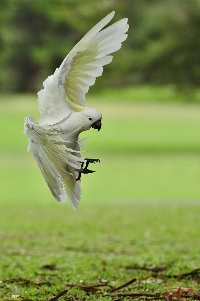 Kakadu žlutočečelatý (Cacatua galerita)