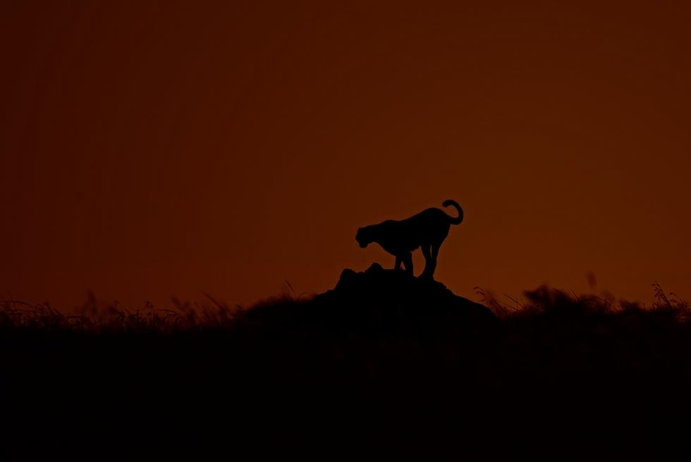 Gepard (Acinonyx jubatus) při západu slunce