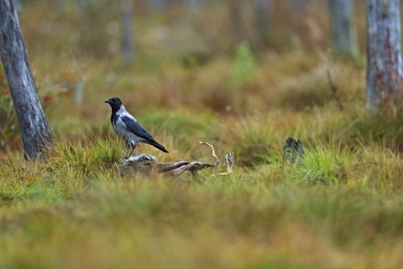Vrána šedá (Corvus cornix)